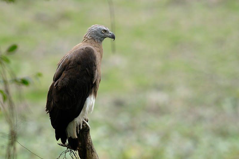 Grey-headed Fish Eagle in Kaziranga National Park