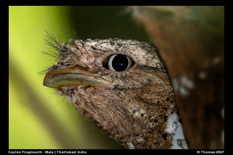 Sri Lankan Frogmouth in Birds of Thattekad