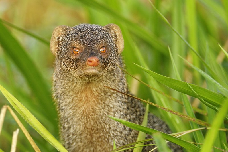 Sparkling eyes of an Indian Grey Mongoose