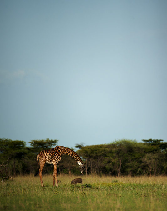 Giraffe and Warthog in a David and Goliath Standoff