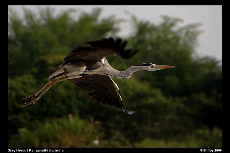 Herons of India
