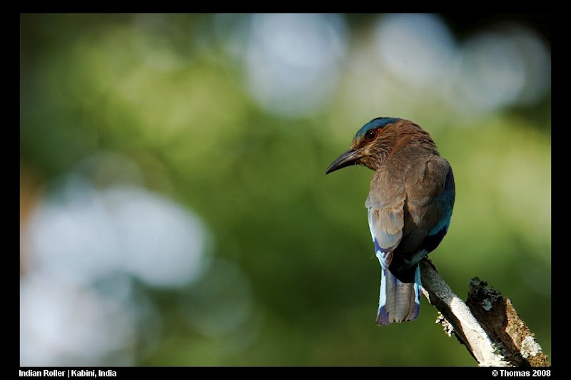 Indian Roller in Nagarhole National Park