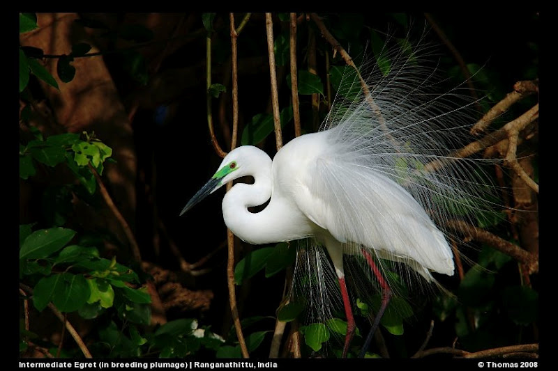 Egret in Breeding Plumage at Ranganathittu Bird Sanctuary