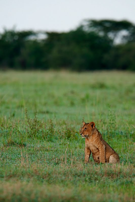 Lion on the prowl - Wildlife photo experience