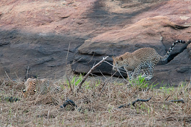 Animals of Sri Lanka #3 : The Yala Leopardess & her cubs – second edition