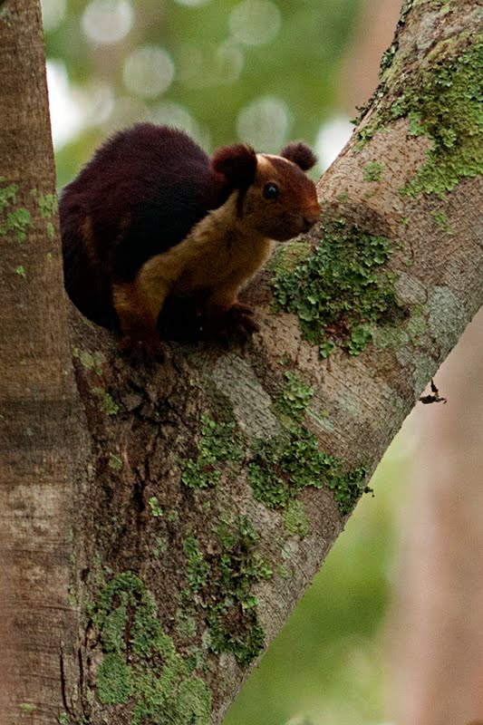 the malabar giant squirrel � the most beautiful of indian
