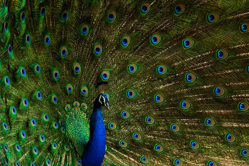 Pictures of Peacock