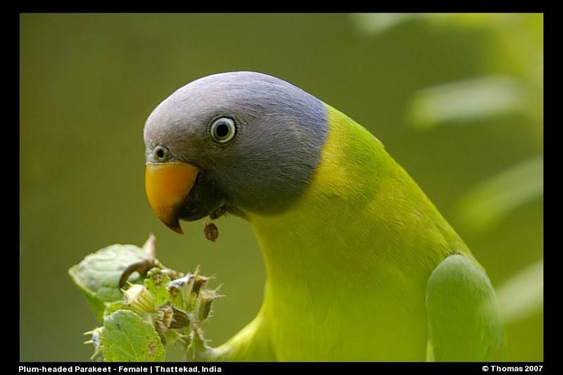Malabar Trogon in Birds of Thattekad