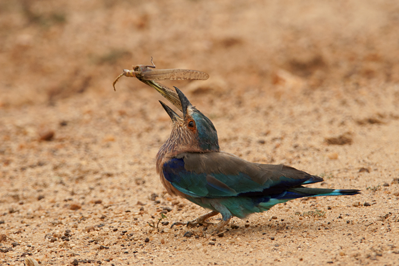 Birds of Sri Lanka #1 : Roller and the Grasshopper