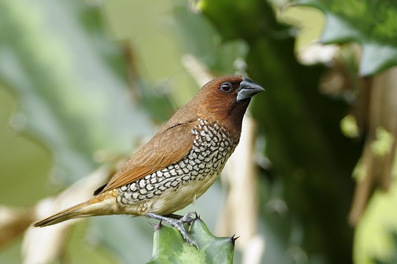 Nesting pair of Scaly-Breasted Munia