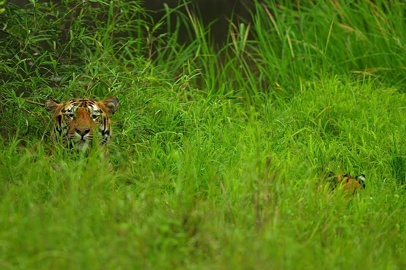 Courting Bengal Tiger in Tadoba Andhari Tiger Reserve – Part one ...