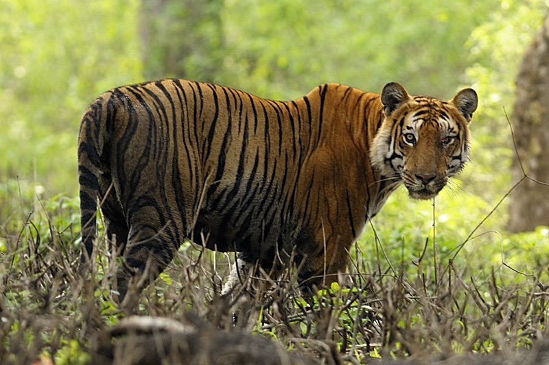 9 seconds sighting of a Bengal Tiger
