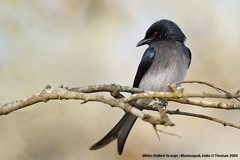 White-Bellied Drongo that came close