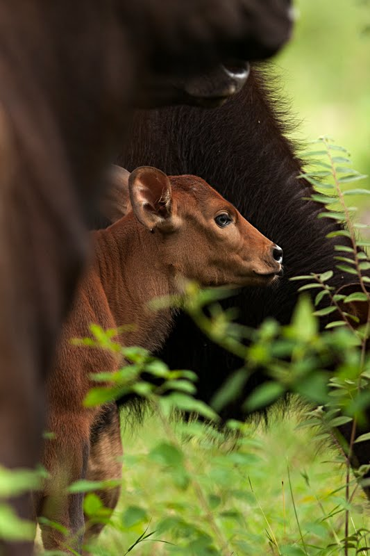 Wildlife%2BMoment%2B-%2BGaur%2Bcalf%2Bprotected