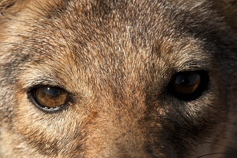 Animals of Africa #11 – Eye of the Jackal : Black-backed Jackal