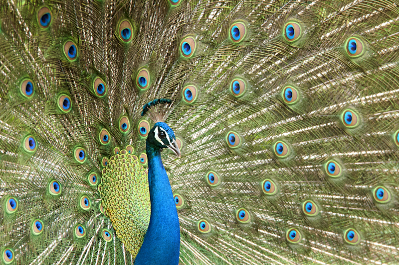 Sparkling courtship dance of India's national bird – The Peacock
