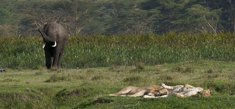 African Elephant on collision course with African Lions