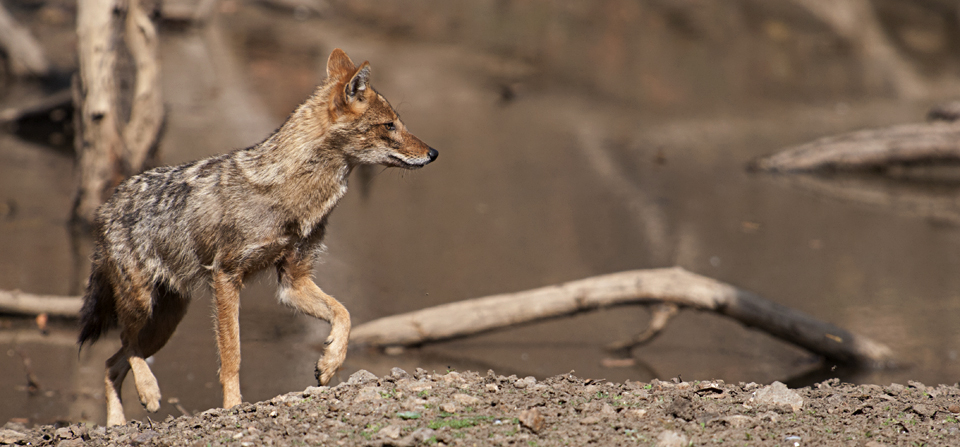 Animals of India #68 : The Golden Jackal