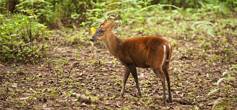 The Barking Deer or Muntjac