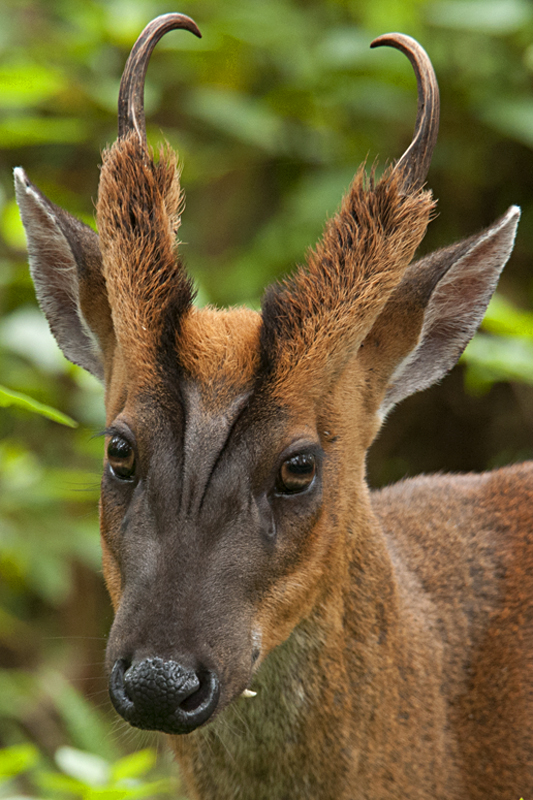 Good Jeep Names >> The Barking Deer or Muntjac | Walk the Wilderness