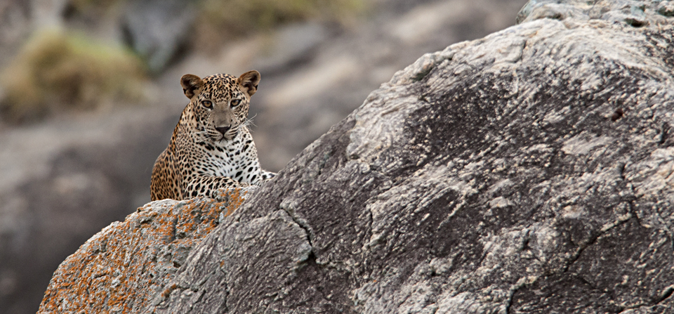 Animals of Sri Lanka #6 : The Yala Leopardess & her cubs – final edition