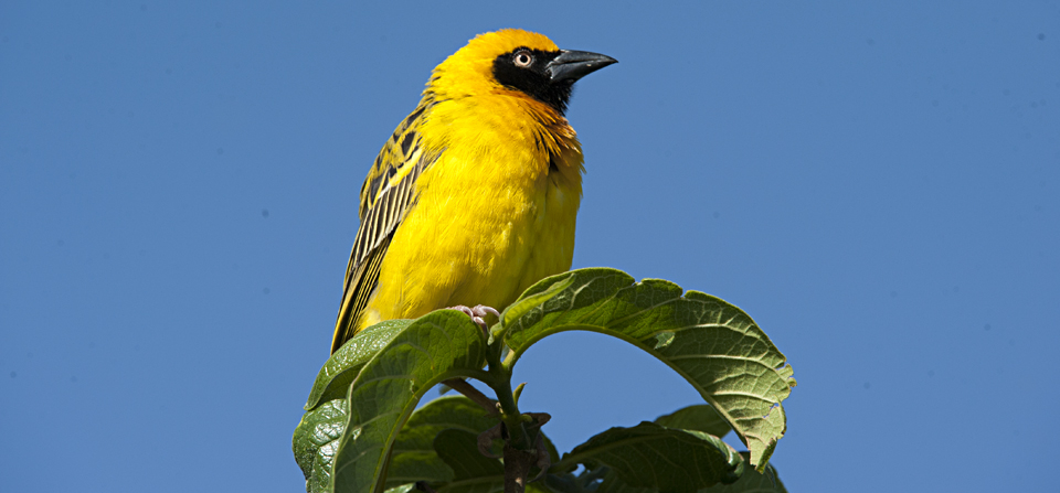 Birds of Africa #4 – Speke's Weaver