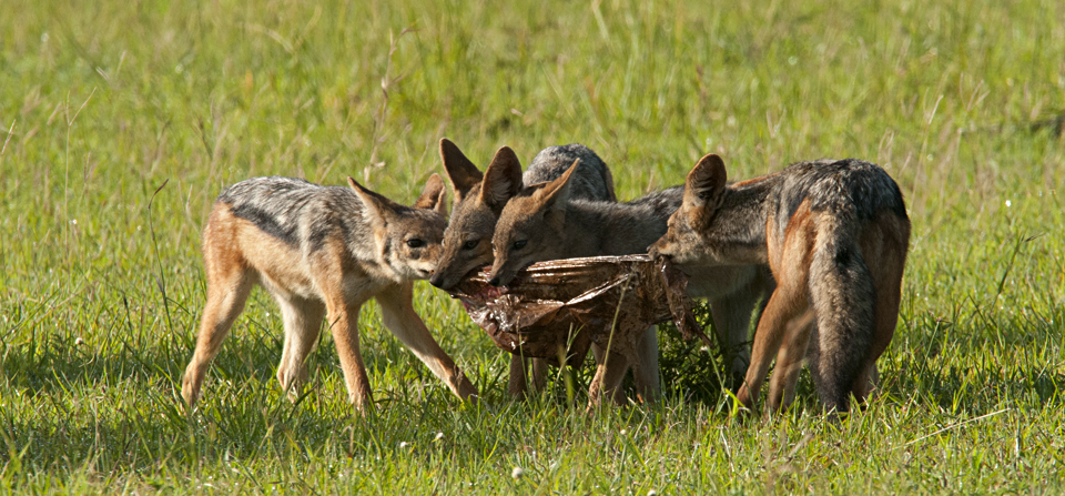 Animals of Africa #16 – The Black-backed Jackal