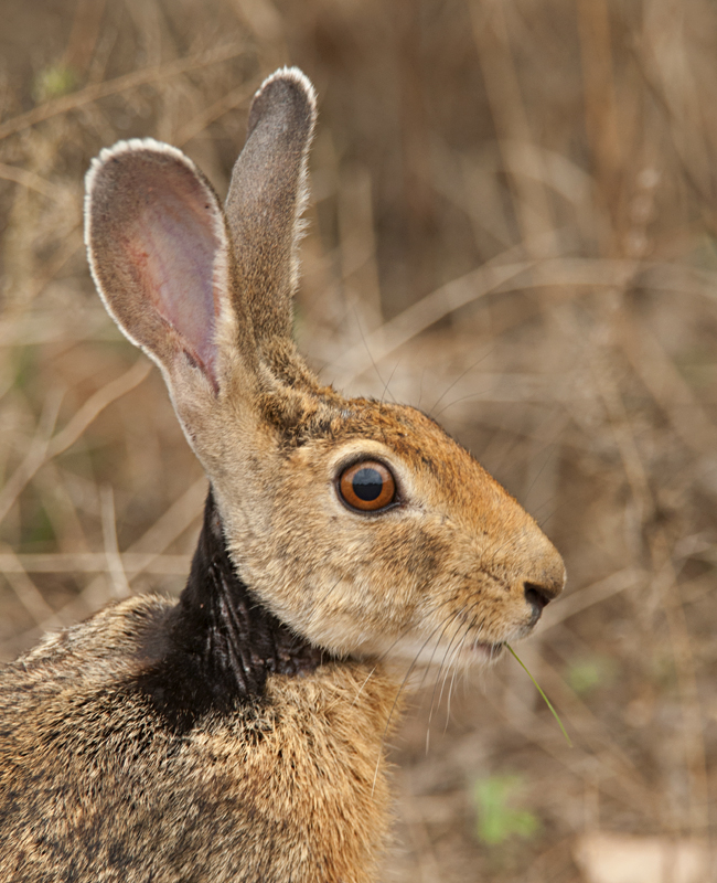 Animals of Sri Lanka #8 : Black-naped Hare