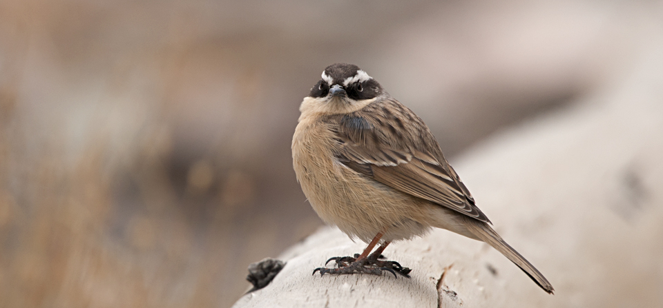 Birds of India #88 : Brown Accentor