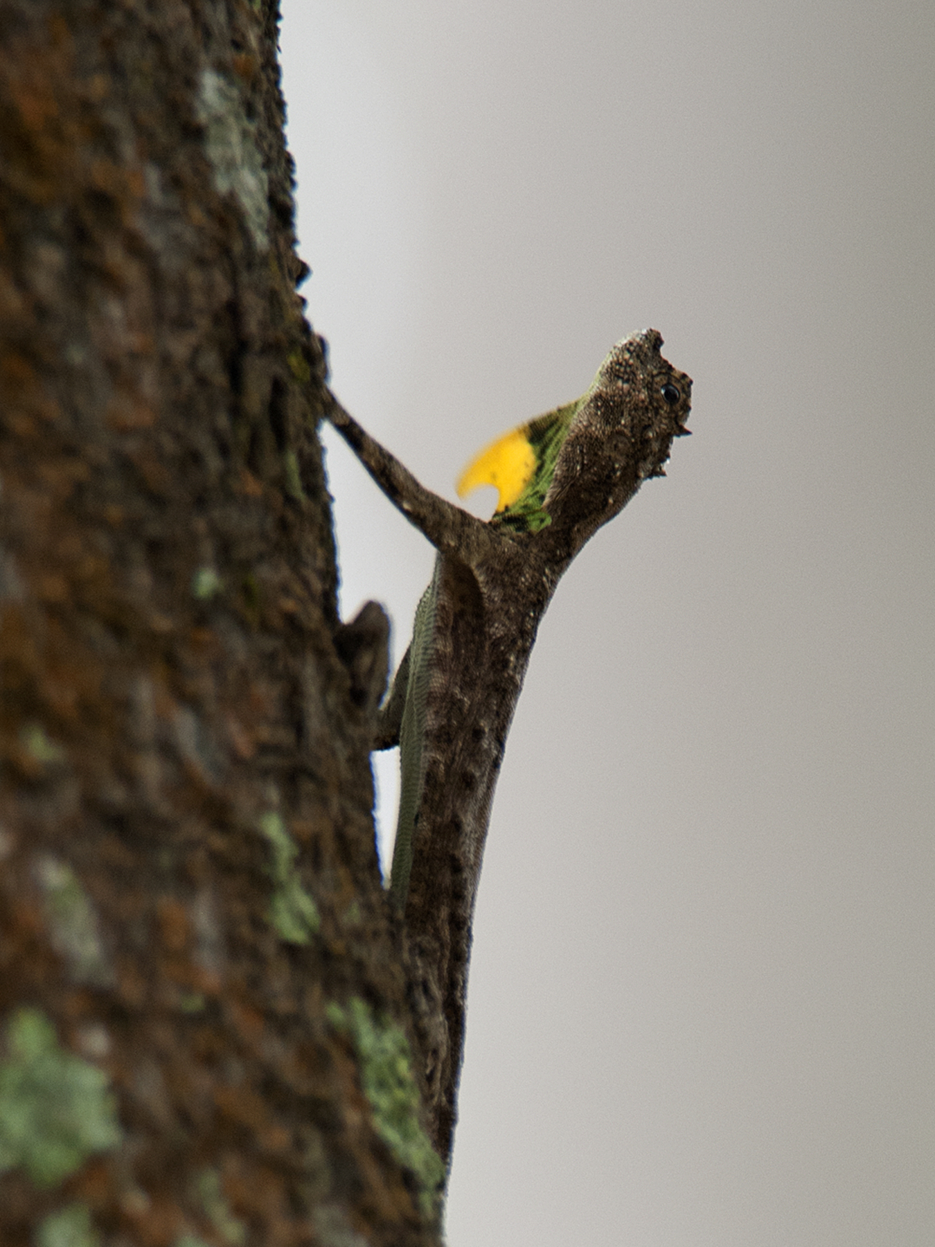 Reptiles of India #5 : The Southern Flying Lizard