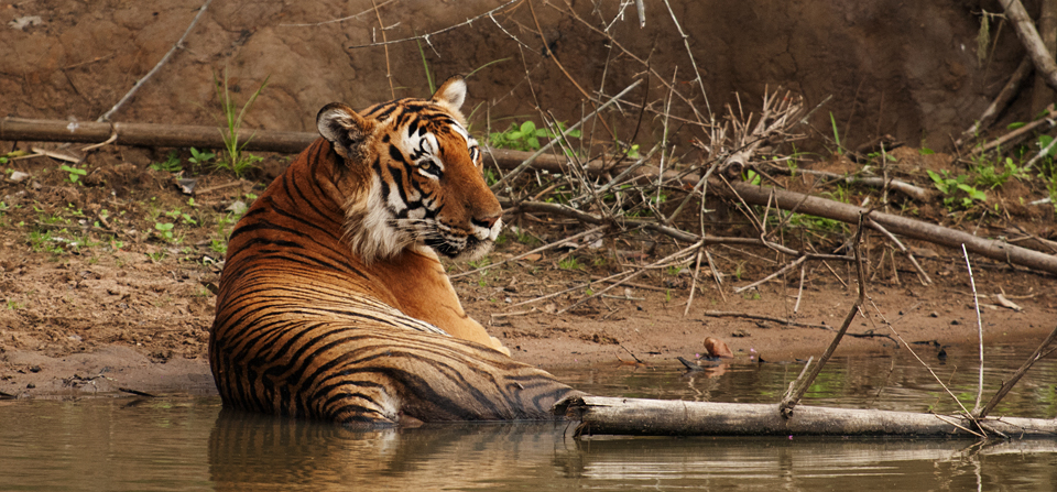 Animals of India #71 : The Sleeping Bengal Tiger