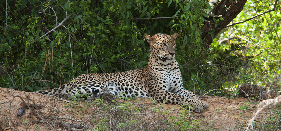 Animals of Sri Lanka #9 : The Leopard