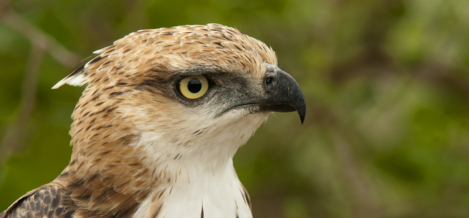 Birds of Sri Lanka #3 – Crested Hawk Eagle