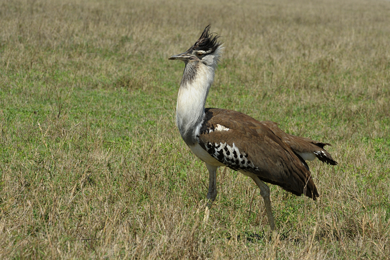 Birds of Africa #5 – Kori Bustard