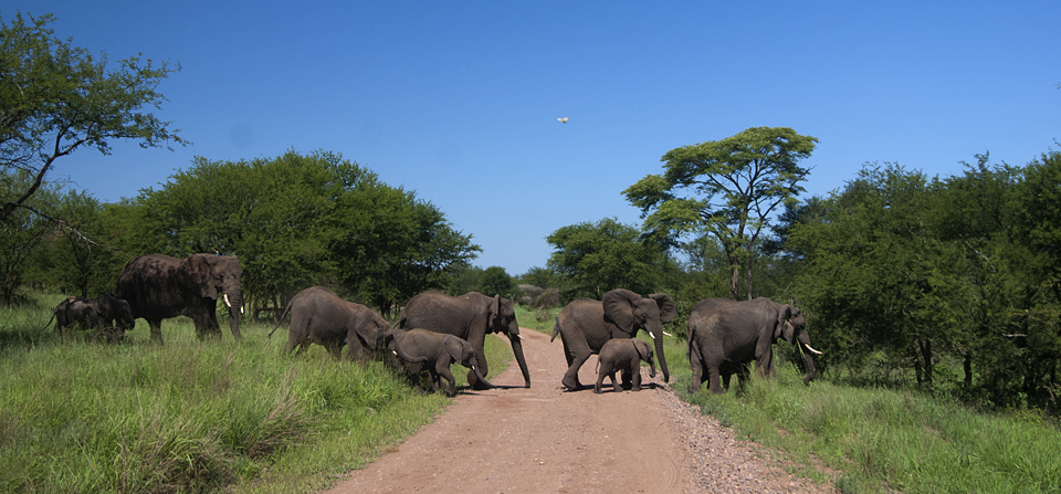 Animals of Africa #19 – The African Elephant herd – Edition 2
