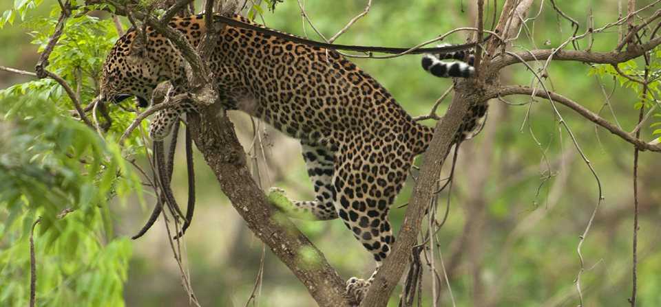Animals of India #73 : The Leopard son who refuses to grow up
