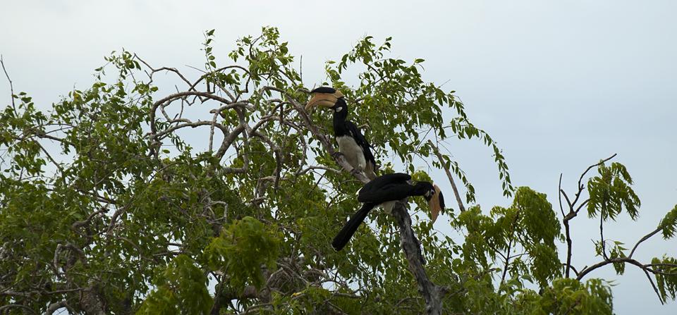 Birds of Sri Lanka #4 – Portraits of a Malabar Pied Hornbill