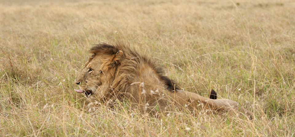 Welcomed by the African Lion in Masai Mara