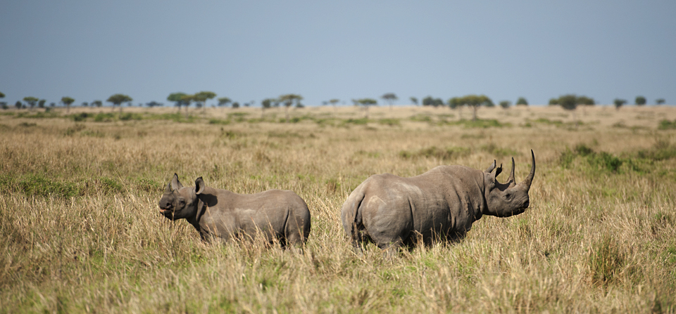 Animals of Africa #26 – Black Rhinoceros in Masai Mara