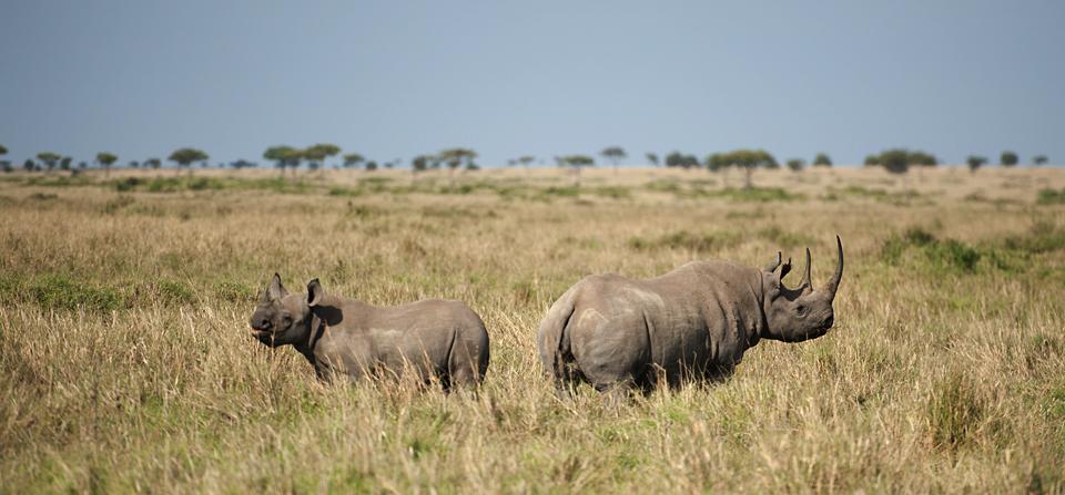Animals of Africa #26 – Black Rhinoceros in Masai Mara