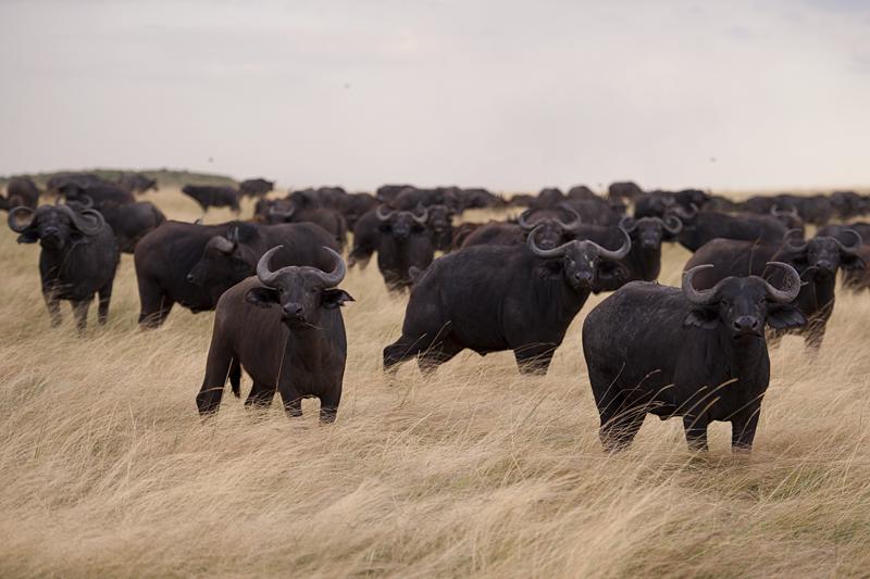 Buffaloes 6747