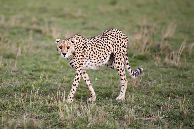 Cheetah 6755