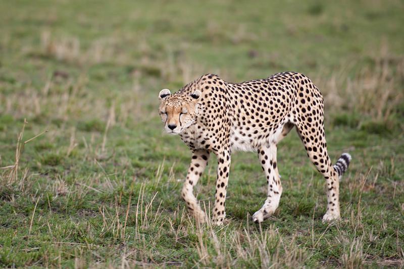Cheetah 6756