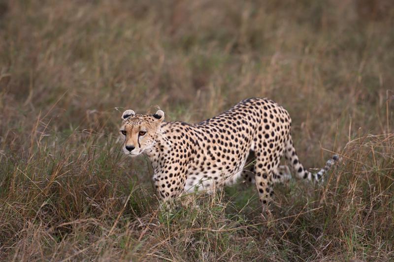 Cheetah 6776