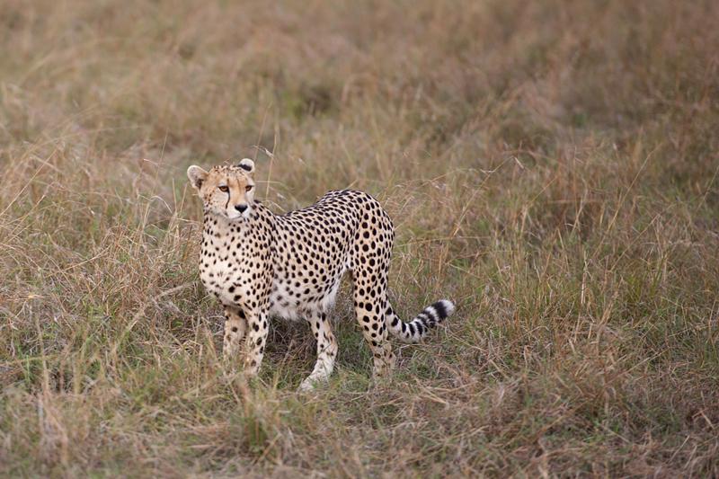 Cheetah 6782