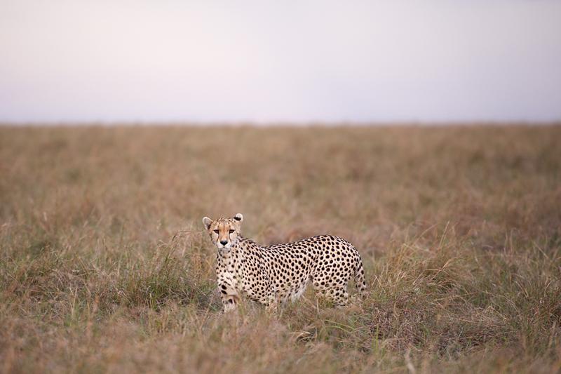 Cheetah 6794
