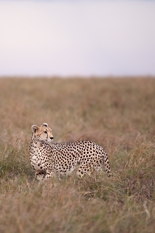 Cheetah 6795