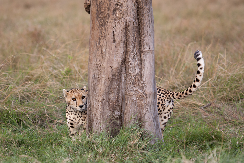 Cheetah 6802