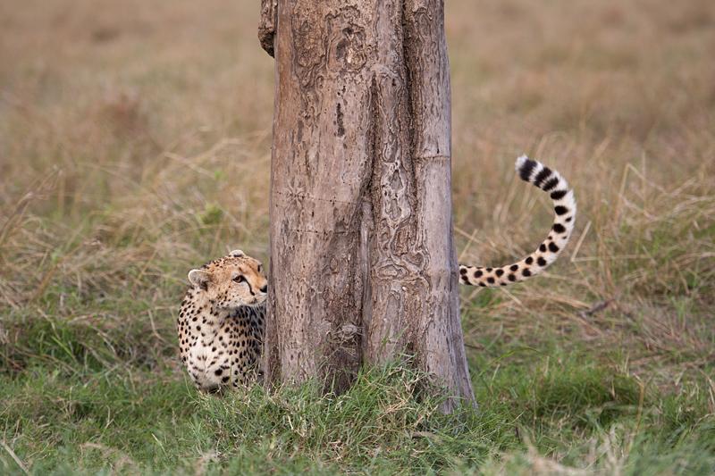 Cheetah 6805