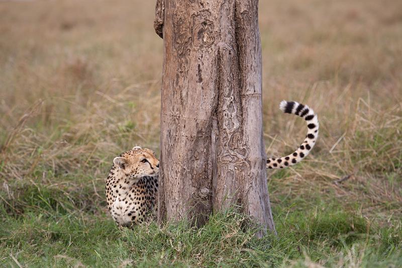 Cheetah 6806
